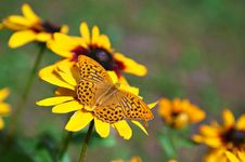 Free Butterfly On Yellow Flower Royalty Free Stock Image - 20634336