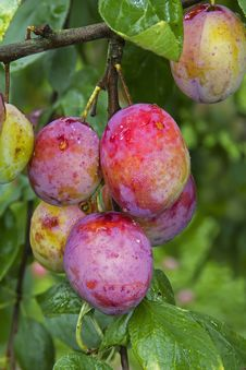 Free Mellow Plums Stock Photos - 20635623