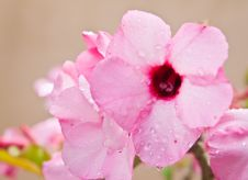 Tropical Flower Pink Adenium. Royalty Free Stock Photo