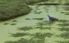 Free Farmers Keep A Mimosa. Royalty Free Stock Photos - 20636358