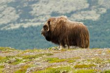 Free The MuskOx Stock Photography - 20636922