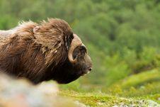 Free The MuskOx Stock Photography - 20636992