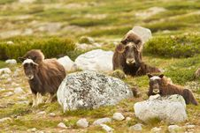Free The MuskOx Stock Images - 20637024