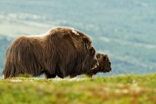 Free The MuskOx Royalty Free Stock Image - 20637046