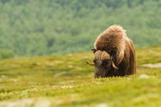 The MuskOx Royalty Free Stock Photography