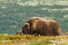 Free The MuskOx Royalty Free Stock Image - 20637286