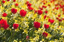 Free Red Tulips Royalty Free Stock Photo - 20639315
