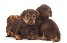 Free Dachshund Puppies Royalty Free Stock Photos - 20639698