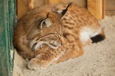Free Bobcat Sleeping Royalty Free Stock Photo - 20639765