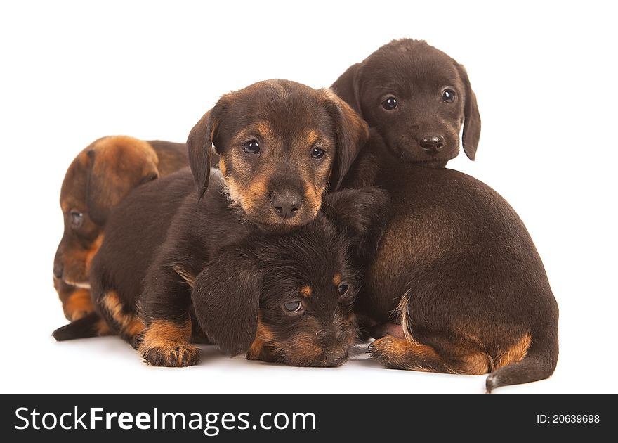 Dachshund Puppies Free Stock Images Photos 20639698