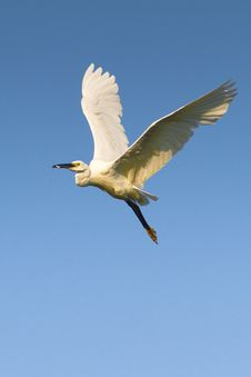 Free Little Egret (Egretta Garzetta) Stock Image - 20640471