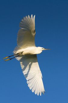 Free Little Egret In Flight (Egretta Garzetta) Stock Photo - 20640480