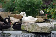Free Swans In Stream Royalty Free Stock Photos - 20640638