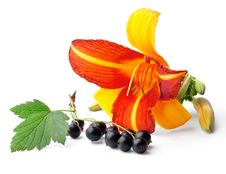 Free Lily And Black Currant Royalty Free Stock Photo - 20641125