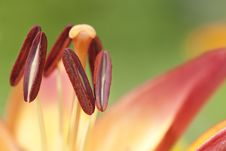 Free Stamens Royalty Free Stock Images - 20641189