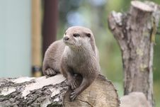 Free Asian Otter1 Royalty Free Stock Photos - 20641428