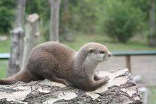 Free Otter6 Royalty Free Stock Photo - 20641475