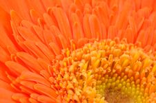 Orange Daisy-gerbera Stock Photo