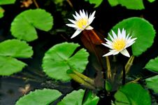 Free Water Lily Royalty Free Stock Images - 20641949