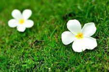 Free Plumeria Royalty Free Stock Photos - 20642098