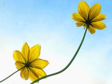 Free Yellow Cosmos Royalty Free Stock Images - 20642279