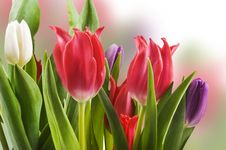 Free Red White And Purple Tulips Royalty Free Stock Photos - 20642518