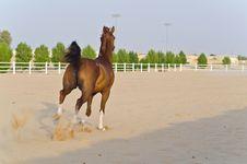 Free Arabian Horse Royalty Free Stock Photography - 20642757
