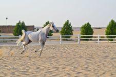 Free Arabian Horse Royalty Free Stock Photos - 20642788