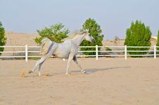 Free Arabian Horse Royalty Free Stock Photos - 20642908