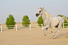 Free Arabian Horse Royalty Free Stock Photo - 20643025