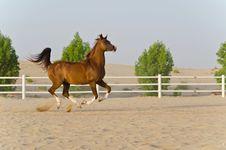 Free Arabian Horse Royalty Free Stock Images - 20643039