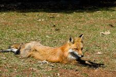 Free Red Fox On The Grass Stock Photography - 20643312