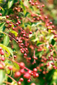 Red Berries On The Green Tree Royalty Free Stock Photography