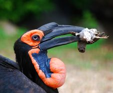 Free African Raven Royalty Free Stock Images - 20644439