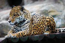 Free Leopard Portrait Stock Image - 20644441