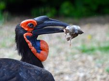 Free African Raven Royalty Free Stock Images - 20644449