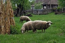 Free Sheep Stock Images - 20644964