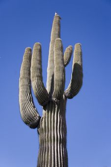 Free Towering Saguaro With Bird On Top Stock Image - 20645041