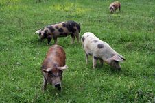 Free Pig Stock Photos - 20645043