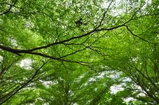 Free Terminalia Ivorensis Chev Stock Photography - 20645302