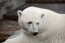 Free Polar Bear In The Zoo S Pavilion Royalty Free Stock Images - 20646109