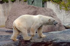 Free Polar Bear In The Zoo S Pavilion Royalty Free Stock Image - 20646136