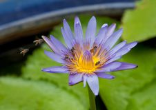 Free Purple Lotus With Bees Stock Photography - 20647532
