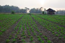 Free Groundnut Farm On Early Morning Stock Photo - 20648170
