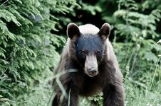 Free Angry Bear Stock Photography - 20648912