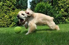 Free Dog With Tennis Ball Royalty Free Stock Photography - 20649747