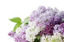 Free Beautiful Lilac On White Royalty Free Stock Photo - 20649855