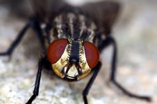 Free Stand Alone Black And Brown Common Fly Royalty Free Stock Photos - 20650638