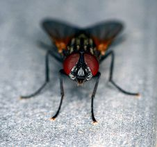 Free Stand Alone Black And Brown Common Fly Stock Photos - 20650643
