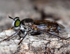 Free Stand Alone Fly With Green Eyes Stock Photos - 20650653